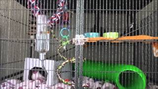 How To Reduce Bad Rat Smell (Request)