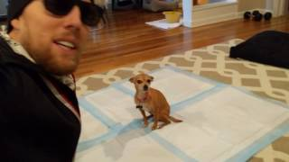 🚹🦊 Teach your dog to potty in the House 2