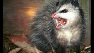 Killing Mice & Possums at our house in Costa Rica (**Viewer discretion)