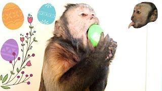 Capuchin Monkey Easter Egg Hunt!