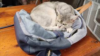 Abyssinian cat won't get off backpack | CUTE CAT CLEO cat video