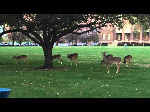 ENTIRE DEER FAMILY GRAZING ON THE GROUNDS OF THE PHILADELPHIA NAVAL SHIPYARD IN PHILADELPHIA, PA.