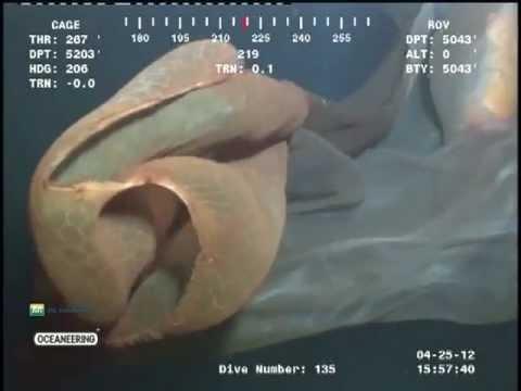 深海現怪物,外形像水母?