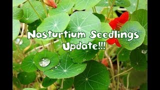Update on Growing Nasturtium Plants From Seeds |Whimsy Crafter