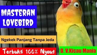 Masteran Lovebird Paling Dicari Audio Lovebird Ngekek Panjang 1 Jam Tanpa Jeda Terbukti Ampuh