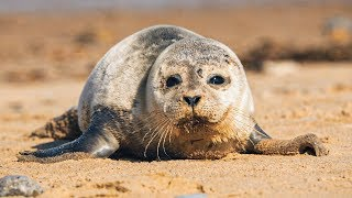Sleepy Harbour Seals and Adorable Pups! | The Science Of Cute | BBC Earth
