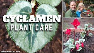 ✔ Cyclamen Plant Care - SGD 279 ✔