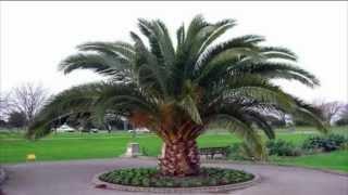 Palmeira-das-canárias (Phoenix canariensis)