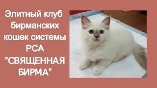 """Клуб бирманских кошек """"СВЯЩЕННАЯ БИРМА"""""""