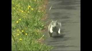 Endangered Delmarva Fox Squirrel at Blackwater NWR - April 29, 2012