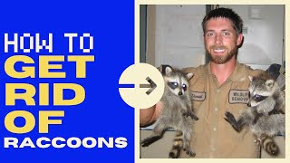 How to Get Rid of Raccoons in the Attic (SAFELY!) - 2020