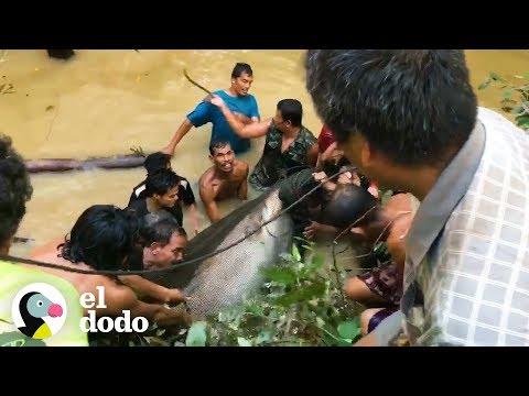 Docenas de personas se unen para salvar a este ENORME pez en peligro de extinción   El Dodo