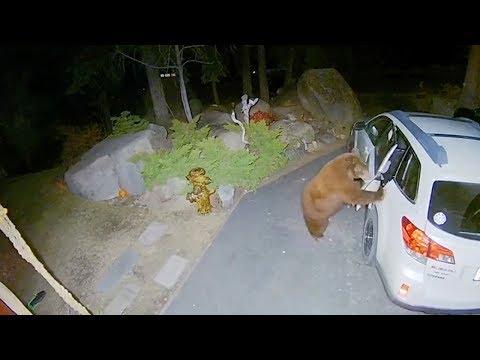 Αρκούδα... διέρρηξε αμάξι!