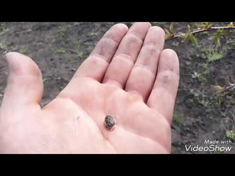 Negru plantar cu tija