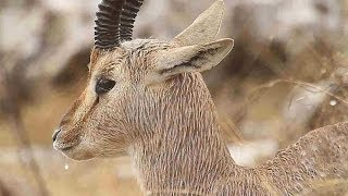 Mountain Gazelle in the rain  צבי ישראלי בגשם