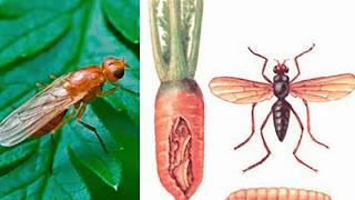 Борьба с морковной мухой видео
