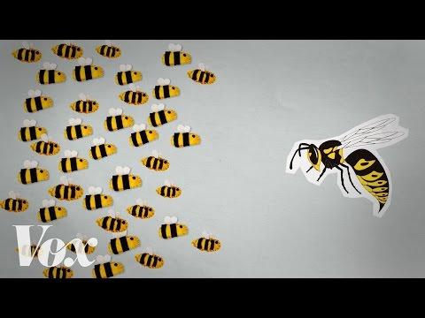 Jak včely uvaří sršně zaživa
