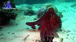 preview picture of video 'DIVING- Jangkar Blues HD OCTOPUSSI'