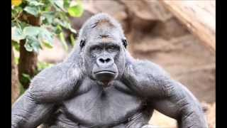 Why Gorillas Are So Strong