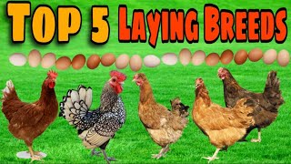 Top 5 *BEST* Egg laying Chicken Breeds!