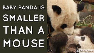 Baby panda is smaller than a mouse | Baby panda facts |