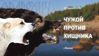 Чужой против хищника Волхов 22 апреля 2016 работа собак по защите