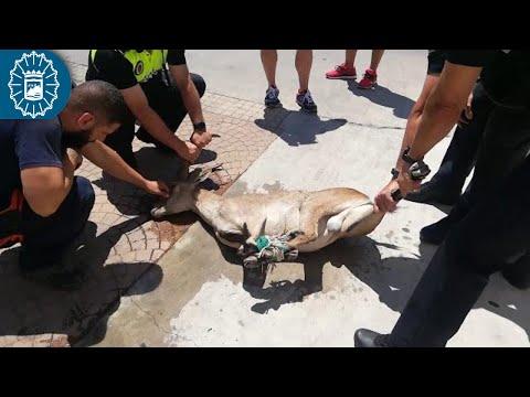 Policía Local captura una cabra montés que deambulaba por la carretera