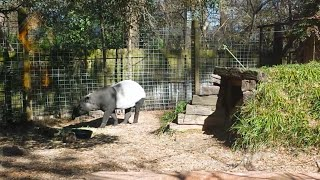 A True Fact About The Tapir