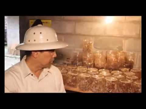 Video Cara budidaya kroto dan ternak kroto medium toples