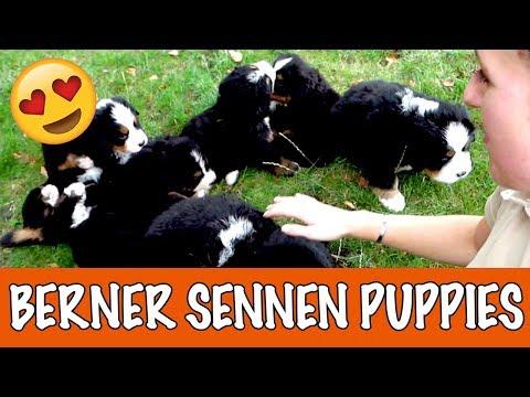 Berner Sennen puppies! | DierenpraatTV