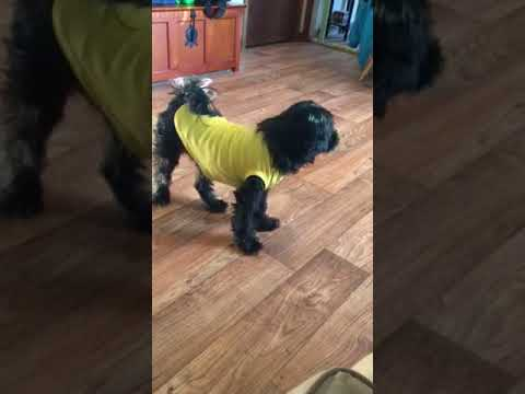 Lucky Duck, an adopted Schnauzer & Poodle Mix in Holbrook, MA