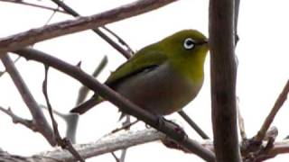 Japanese White Eye - Zosterops Japonicus
