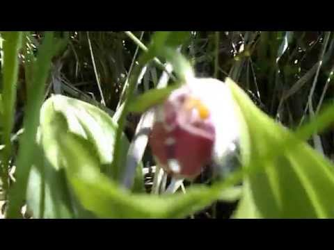 черный лист венерин башмачок