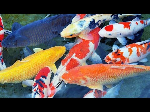 caf#fish# Collection
