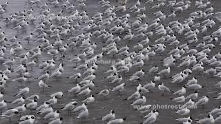 ユリカモメの群れ