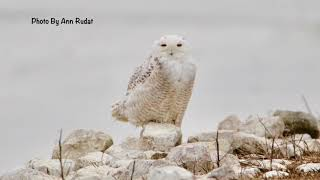 Snowy Owls, Bald Eagles and a Golden Eagle - Oh My!
