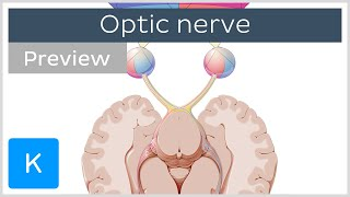 Optic nerve: branches and path (preview) - Human Anatomy | Kenhub