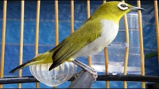 Gambar cover suara Burung pleci untuk memanggil pleci liar