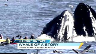 Surfer almost Swallowed by Humpback