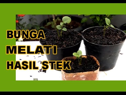 Video Bunga Melati Hasil Stek