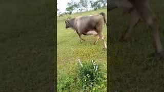 Bovino Leite Girolando Vaca 6-10l - e-rural Imagens