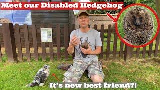 MEET our DISABLED Hedgehog, Rescued Hedgehog, Blind Hedgehog, How to Care for a Hedgehog...