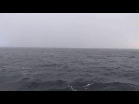 Пастбище уток в проливе Лаперуза. ducks