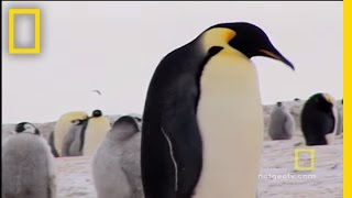 Penguins Dressed for Success | National Geographic thumbnail
