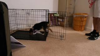 How to get your dog in a crate ON CUE - Mini Australian Shepherd