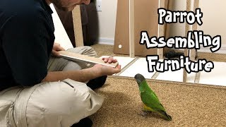 Kili Senegal Parrot Helping Assemble Furniture