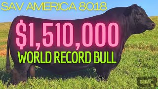 💲💲💲 $1.51 MILLION BULL WORLD RECORD BREAKING BLACK ANGUS SOLD AT AUCTION SCHAFF VALLEY ANGUS