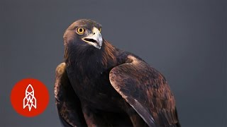 Strong, Swift, Sharp: The Powerful Golden Eagle