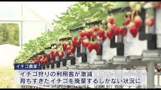 新型コロナウイルスの影響で苦境 神戸のイチゴ農家を支援