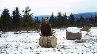 Bear & Wildlife Compilation - Best of Bear Watching Transylvania (December)